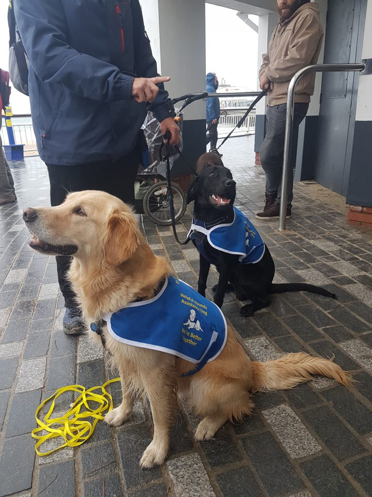 Two assistance dogs, a Labrador and a Golden Retriever training in public in Dorset.